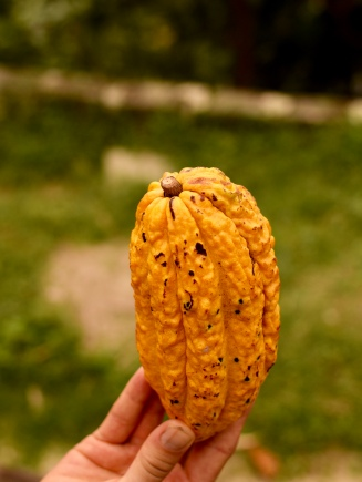 A full cacao fruit fresh from the tree.